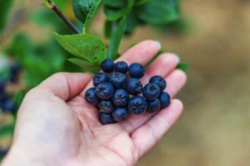 Cum se consuma fructele de aronia, superalimentele bogate în proteine şi indicate pentru diabetici?